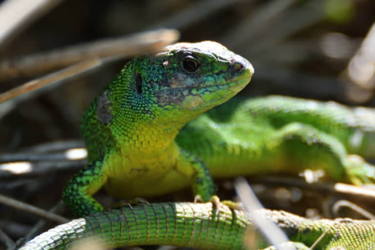 Smaragdeidechse, © N. Kreidenweiss